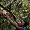 Child harvesting cocoa beans